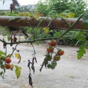 トマトの仕立て