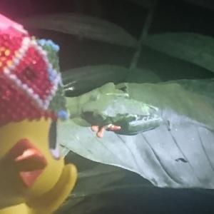 ケロケロッ♪サラピキ熱帯雨林ナイトツアーでカエル三昧!/コスタリカ旅行2020/6日目③