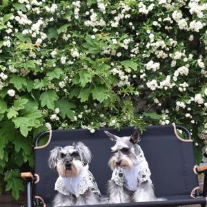 ぼくたちのお庭のバラちゃんたちなのらー