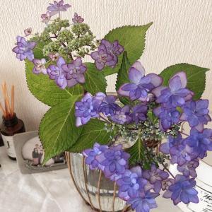 【季節の花紹介】紫陽花「ひな祭り」細かい花弁と紫のグラデーションが印象的!