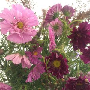 今日の仕入れ:ふりふり八重の秋桜とボルドーのトルコキキョウ【和光朝霞フラワーアレンジ教室】