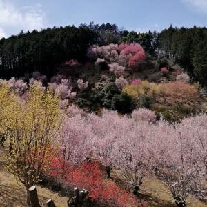 桜花爛漫 【桃源郷/花桃の郷/鉢形城址/日枝神社】