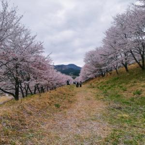 それは選べません 【虎山の弐千本桜、他】