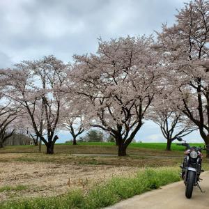 山梨の桜たち