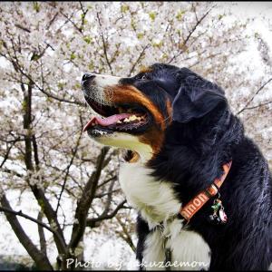 岳と桜1 2019/4/14