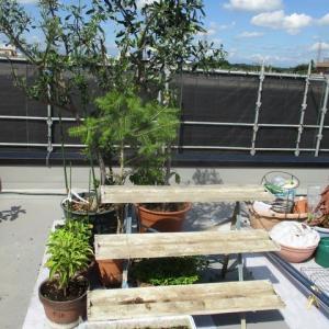 エッセイ(564)台風接近で屋上の植木たちに補強。