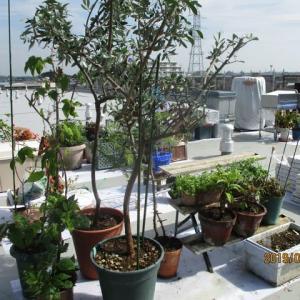 エッセイ(570)植木の移動で汗を流す。