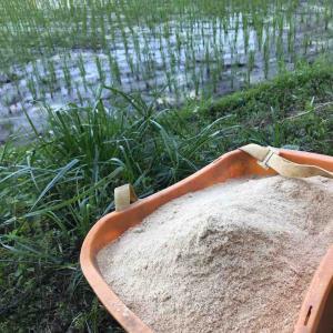 無農薬田んぼの糠ふり