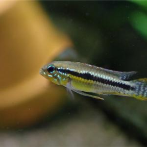 密かに導入していたネグロのお魚。Ap. パウキスクアミス/サンタイザベル