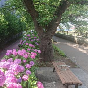 柏尾川沿いでも、紫陽花が見頃を迎えてますよ!