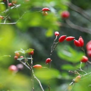 原種バラのローズヒップが美しい。