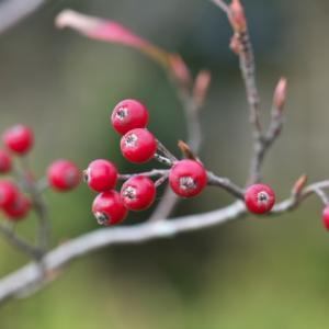 西洋カマツカの赤い果実が美しい。
