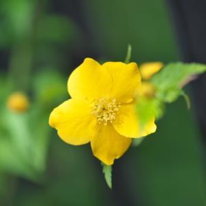 ヤマブキが開花すると・・・。