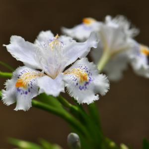 シャガの開花で、庭が一気に・・・・。