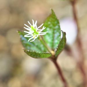 ヒトリシズカがひっそりと、開花しています。