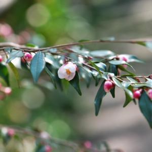 謎?? カメリア・エリナカスケード Camellia 'Elina Cascade'という椿。