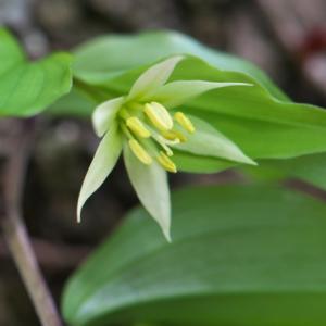 チゴユリが清楚な花を見せます。