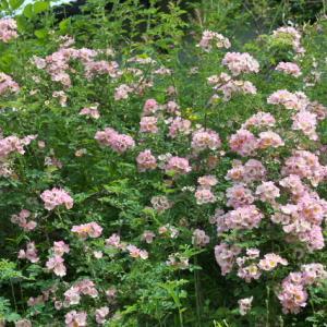 キュー ランブラー – Kew Rambler(Rosa soulieana × Hiawatha)