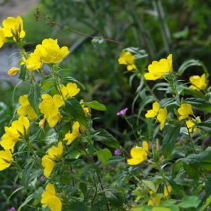 Oenothera fruticosa(エノテラ・フルティコーサ) の嫌味のない黄色。