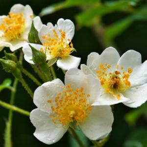 なかなか開花の姿を見られない Rosa.sinowilsonii 。