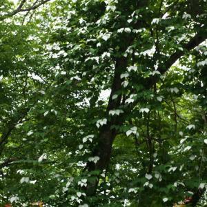 夏至・・・新緑の若葉の中で・・マタタビの白変化。