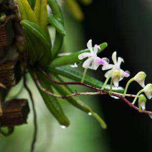 鳥のように思える花を付ける原種ラン・・・Cleisostoma.complicatum。
