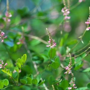 コマツナギの小さな可愛い花。