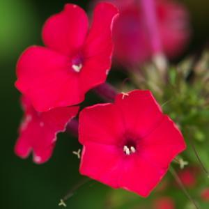 鮮やかな赤色。。。Phlox paniculata。