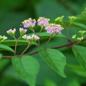 ようやく・・・コムラサキの小さな花が・・・。