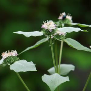 爽やかなミントの香り・・・・広葉 Mountain Mint。