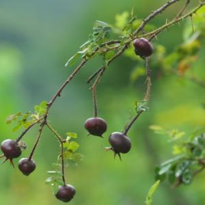 黒いローズヒップのお目見え・・・Rosa spinossima altaica。
