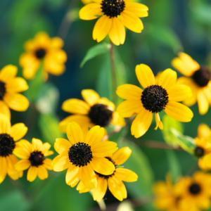 夏の黄色の花って、好きですか?? ルドベキア・タカオ。