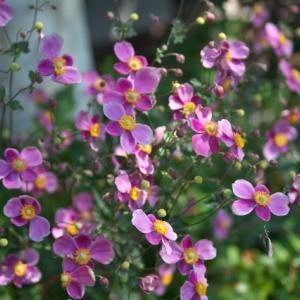 シュウメイギク ダイアナの花盛りは・・・すごい。