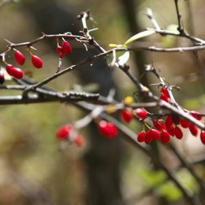 メギの果実が美しい。