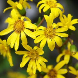ツワブキの花が輝くように美しいです。