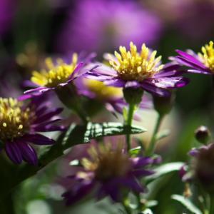 切り花として、コンギクをリビングに入れたところ、しべが美しく。