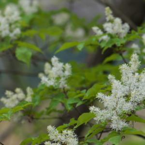 アオダモの花に出会いました。