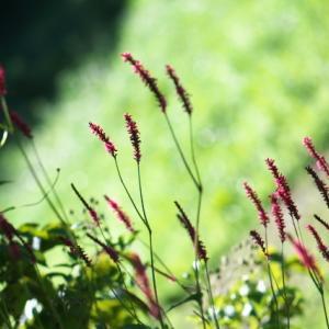赤い花穂が庭のワンポイント・・・Polygonum amplexicaule。