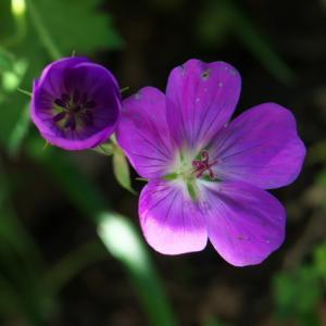 ゲラニューム ロザンネ (Geranium 'Rozanne')の美しい姿。