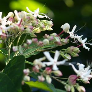 ほのかな甘い香りが・・・・クサギの開花。