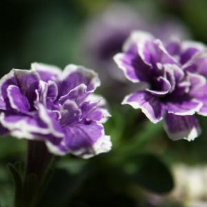 ペチュニアの八重咲き種・・・トパーズブルー。