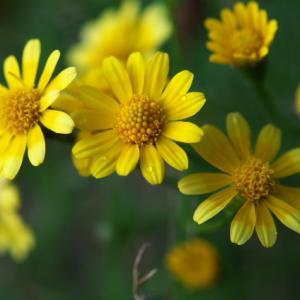花期の長いダールベルグデージー(Dahlberg daisy)。