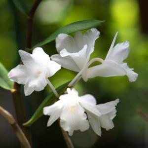 Dendrobium.mutabileの二番花。