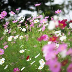 コスモスが美しく咲きそろいます。