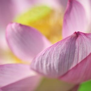 古代蓮の花は・・・終盤でしょうか?