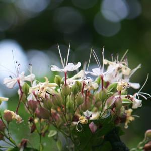 甘く、どこか山百合に似た香りが漂います・・・クサギの花。