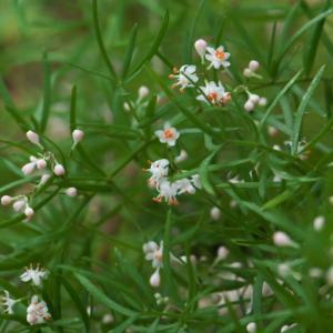 チビちゃんの消しゴムの匂い。。。Asparagus densiflorus 'Sprengeri'。