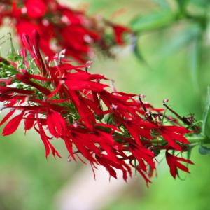 Cardinal Flower の鮮やかな赤に惹かれます。