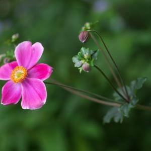 シュウメイギクのダイアナの開花。