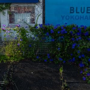 Blue 朝顔